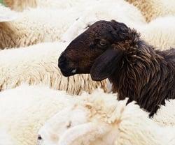agile-black-sheep
